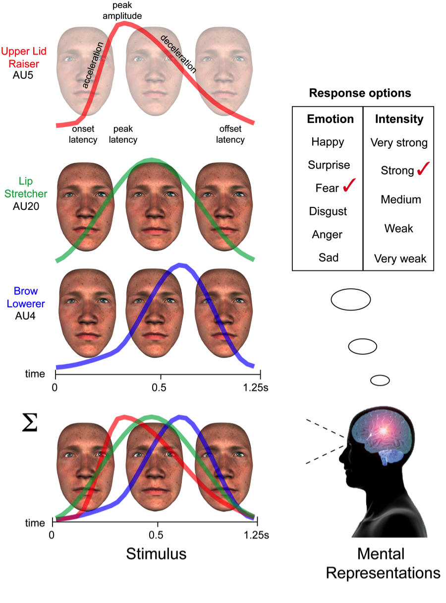 Figure 2: Psychophysically probing the receptive fields of social perception. On each experimental trial, a facial expression generator produces a random facial expression. The naïve receiver categorizes the stimulus as meaningful (e.g. fear of strong intensity) if the random facial movements form a pattern that matches their stored representation of that facial expression.